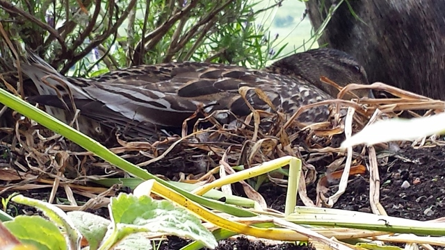Mallard nesting at Briar Cottages