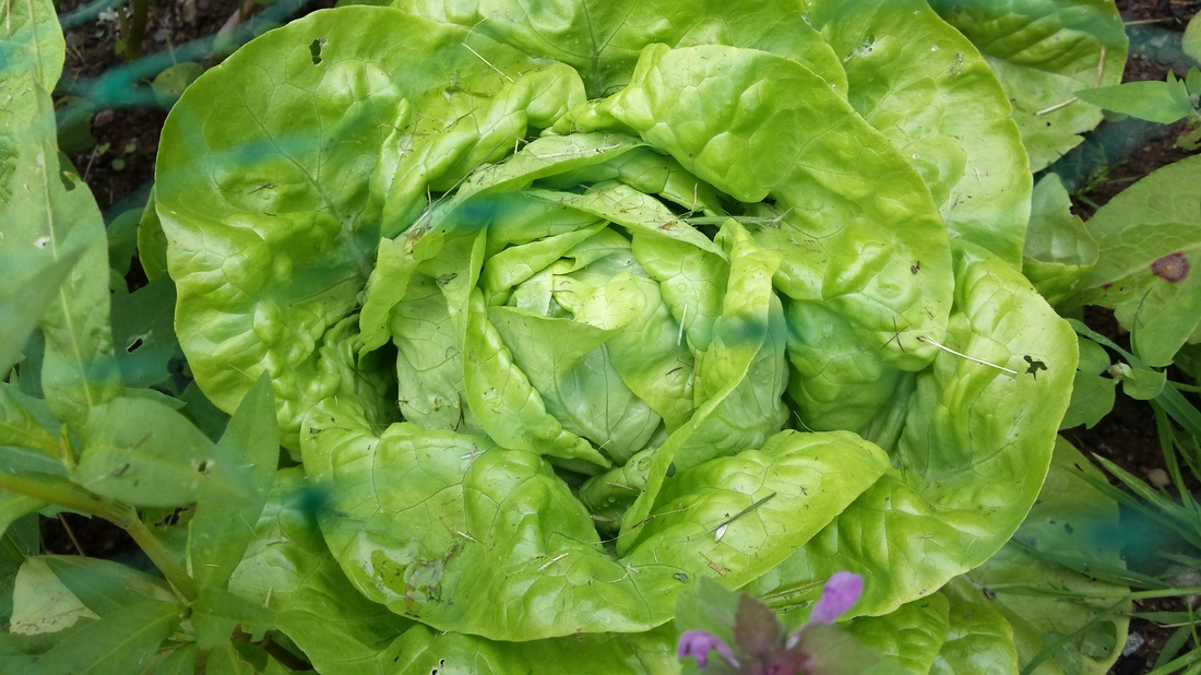 PictureSummer Lettuce grown at Briar