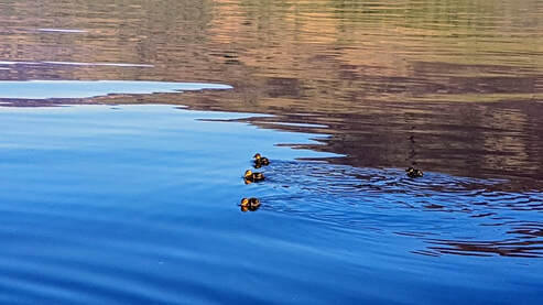 Ducklings swim near Briar Cottages Loch Earn