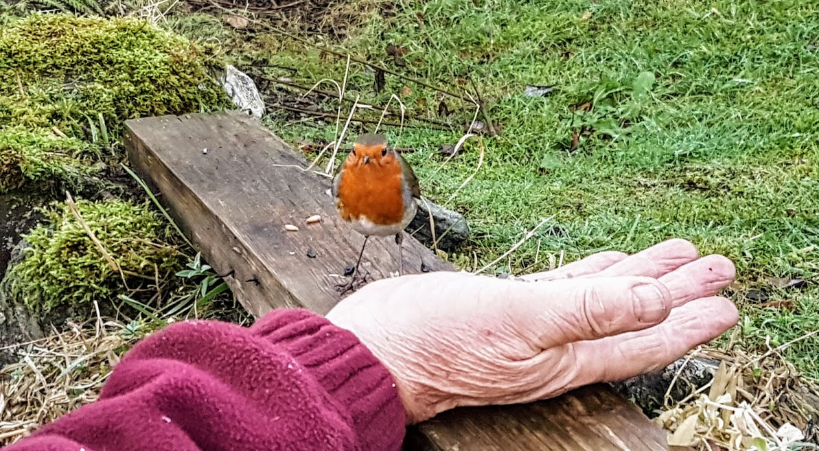 Robin feeding from Fraser's hand, Briar Cottages