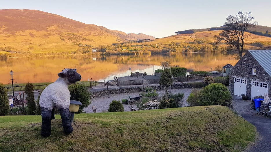 Lewis lamb on a golden sunset over Loch Earn