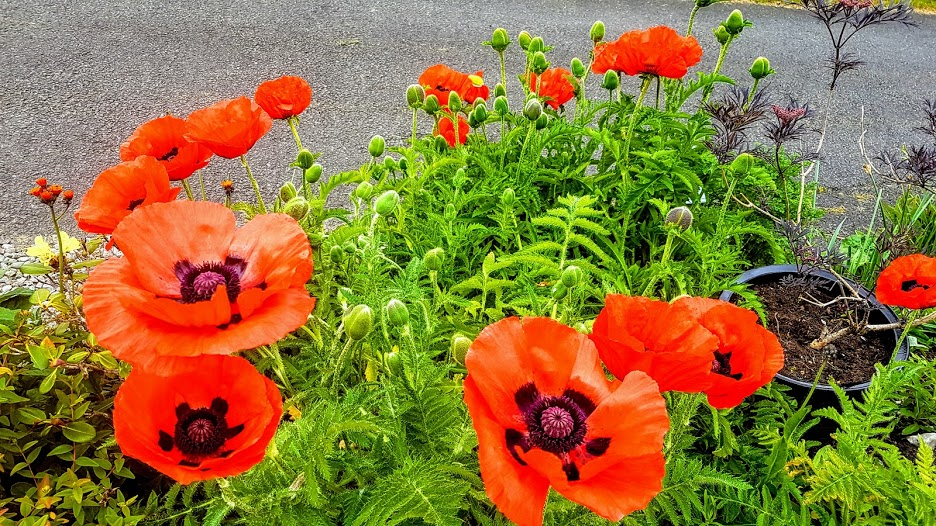 orange poppies lochearnhead