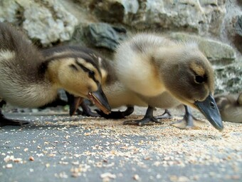 Baby mallards hatch every year at Briar holiday cottages Lochearhead