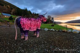 Brunas the CrazyColor pink coo by Kev Paxton watching the Loch Earn Sunrise at Briar Cottage -photo by Dave Maurray