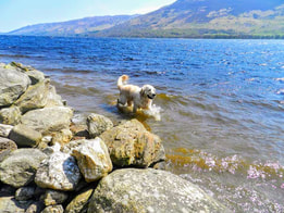 Pippa doing doggy paddle on Briar Cpttages garden shore Loch Earn