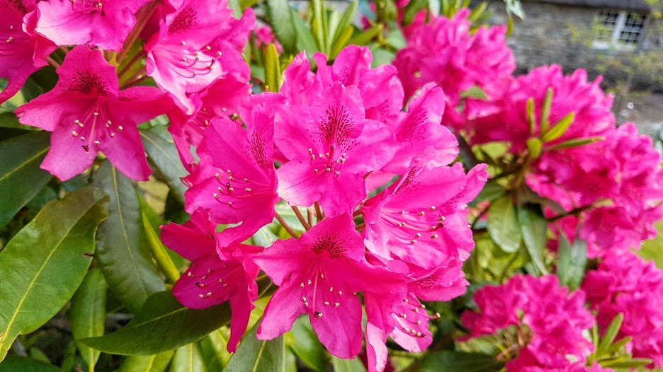 Bright pink rhododendron bush, Briar Cottage Loch Earnicture